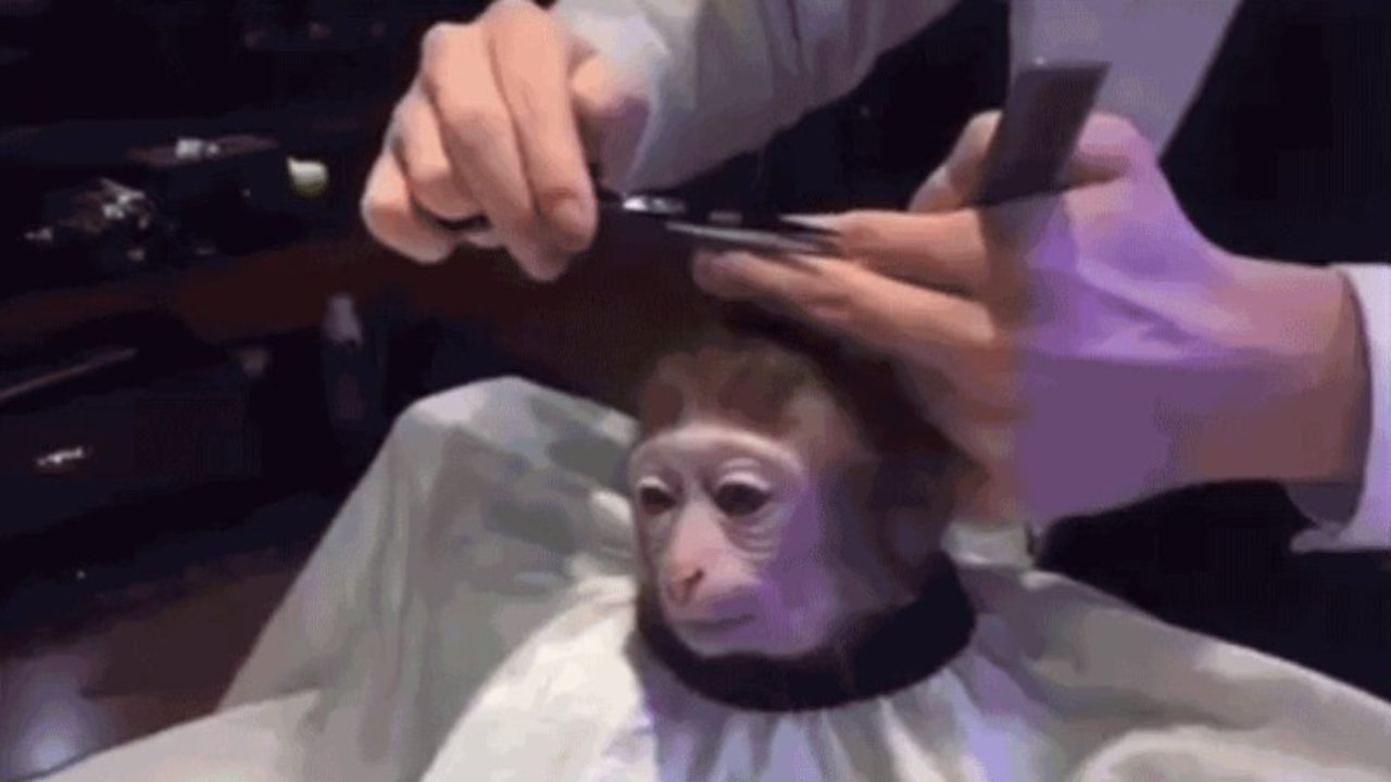monkey-haircut